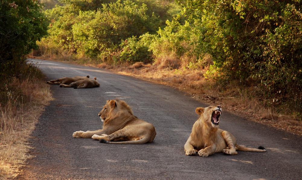 3 day nairobi-park-lions