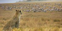 Leopard (Panthera pardus) watching zebras