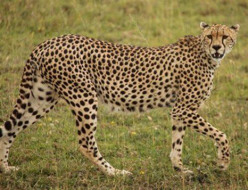 The Best of Maasai Mara, Serengeti and Amboseli Safaris