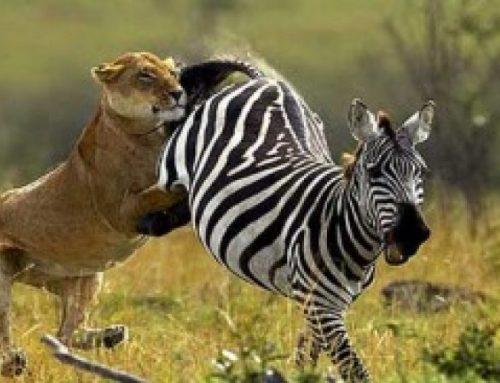 8 Days Tsavo West Amboseli Aberdare Nakuru Masai Mara Parks
